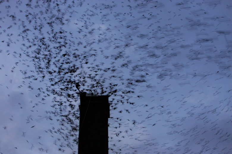 Thousands of swifts circle the Frank Wagner Elementary School chimney before dropping into the chimney to roost on September 8, 2010. The birds were on their migration south, and that night, 14,293 swifts were counted entering the chimney.